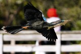 Anhinga flying by with nest materials