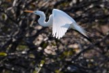 Great egret flying upwards against the sun