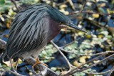 Green heron resting by the water