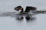Cormorant landing in the water