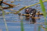 Pied-billed grebe mom with fish