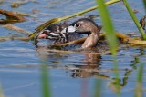 Pied-billed grebe chick got the fish