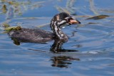Pied-billed grebe chick