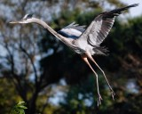 Great blue heron about to land