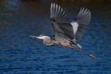 Great blue heron flying over the water