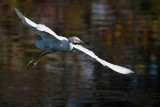 Juvenile little blue heron flying low