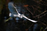 Juvenile little blue heron approaching