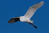 Great egret flying high