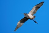 Tricolor heron flying in the clear blue sky