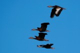 Black-bellied whistling ducks flying by
