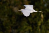 Juvenile little blue heron flying by