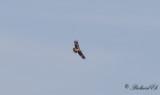Kejsarörn - Imperial Eagle (Aquila heliaca)