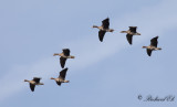 Bläsgås - Greater white-fronted Goose (Anser albifrons)