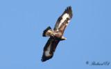 Kungsörn - Golden Eagle (Aquila chrysaetos)