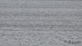 Havssula - Northern Gannet (Morus bassanus)