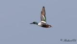 Skedand - Northern Shoveler (Anas clypeata)