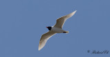 Svarthuvad mås - Mediterranean Gull (Larus melanocephalus)