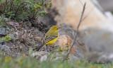 Gulärla - Yellow Waigtail (Motacilla flava flavissima/lutea)