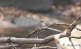 Forsärla - Grey Wagtail (Motacilla cinerea)