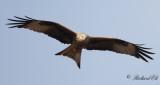 Röd glada - Red Kite (Milvus milvus)