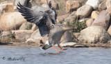 Sädgås - Bean Goose (Anser fabalis)