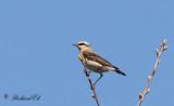 Stenskvätta - Northern Wheatear (Oenanthe oenanthe)