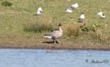 Spetsbergsgås - Pink-footed Goose (Anser brachyrhynchus)