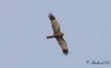 Brun kärrhök - Marsh Harrier (Circus aeruginosus)