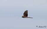 Ängshök - Montagu's Harrier (Circus pygargus)