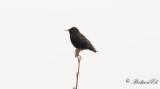 Stare - Common Starling (Sturnus vulgaris)