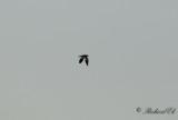 Gråhuvad vipa - Grey-headed Lapwing (Vanellus cinereus)