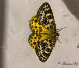Torvmossemätare - Spotted Beauty (Arichanna melanaria)