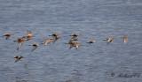 Calidris flocks