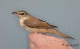 Trastsångare - Great Reed-Warbler (Acrocephalus arundinaceus)