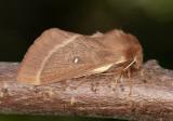 Lasiocampidae ( Ädelspinnare )