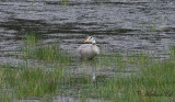 Stripgås - Bar-headed Goose (Anser indicus)