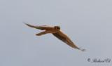 Stäpphök - Pallid Harrier (Circus macrourus)