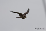 Aftonfalk - Red-footed falcon (Falco vespertinus)