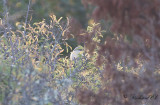 Brun törnskata - Brown Shrike (Lanius cristatus)