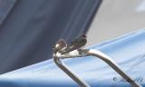 Common House Martin & Barn Swallow