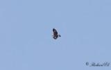 Kungsörn - Golden Eagle (Aquila chrysaetos)Kungsörn - Golden Eagle (Aquila chrysaetos)