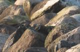 Gulärla - Western Yellow Wagtail (Motacilla flava)