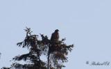 Stäppörn - Steppe Eagle (Aquila nipalensis)