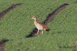 Nilgås - Egyptian Goose (Alopochen aegyptiacus)