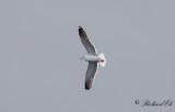 Silltrut - Lesser Black-backed Gull (Larus fuscus)