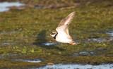Större strandpipare - Common Ringed Plover (Charadrius hiaticula)