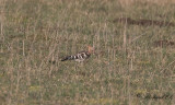 Härfågel - Eurasian hoopoe (Upupa epops)