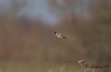 Svarthakad buskskvätta - European Stonechat (Saxicola rubicola)