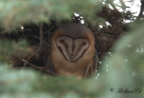 Tornuggla - Western Barn Owl (Tyto alba guttata)