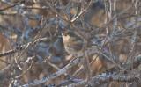 Busksångare - Blyth's Reed Warbler (Acrocephalus dumetorum)